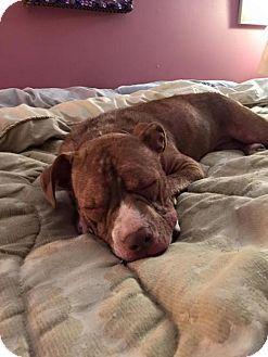 04/09/16-New York, NY - Pit Bull Terrier Mix. Meet Ava, a dog for adoption. http://www.adoptapet.com/pet/13547279-new-york-new-york-pit-bull-terrier-mix