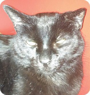 Domestic Shorthair Cat for adoption at SOS Kitty, Scottsdale, Arizona - Diego-big-compact-black-loving 8yr. old senior cat who weighs 18.75 lbs & loves sleeping with you.