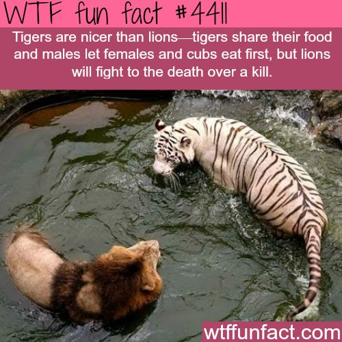 WTF Facts : funny, interesting & weird facts — Tigers vs lions -   WTF fun facts