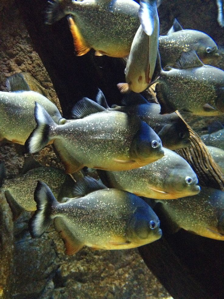 28 best images about piranhas on pinterest dubai for Freshwater fish with teeth