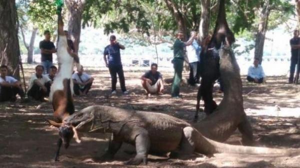 Seekor Komodo Gigit Turis Asal Singapura, Loh Lee Aik di Labuan Bajo