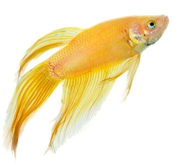 127 best veiltails images on pinterest betta betta fish for Male veiltail betta fish