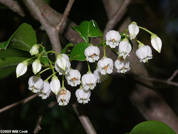 238 best fragrant native flowers for south florida