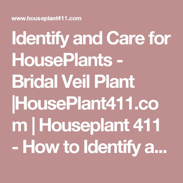 Identify and Care for HousePlants - Bridal Veil Plant  HousePlant411.com   Houseplant 411 - How to Identify and Care for Houseplants