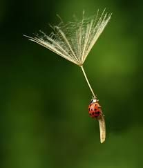 ladybug image - Google Search -  alternative to Lily flower maybe a dandilon? with the lady bug attached to one of the blown off petal things!