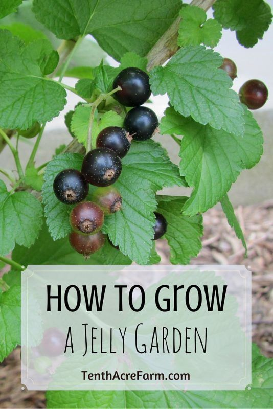 Many ornamental and wild fruits are overly tart and seedy when eaten fresh, but become sweet and mellow when made into jelly. Here are five berry-producing plants that are easy to grow and a few ideas for making and using a mixed-fruit jelly.