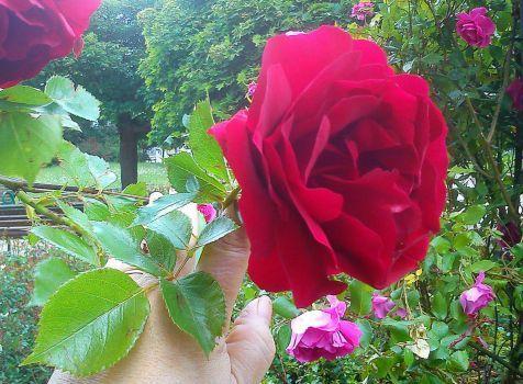 jen jedna rudá růže (48 pieces)
