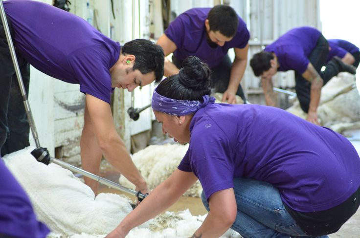 Team work. Shearers, wool handlers, classers and pressers. All skillful operators with important roles that help make the shearing gang sing