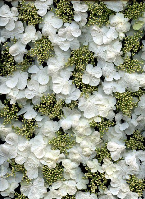 : 54302 01 Viburnum, Art Patterns, Beautiful Patterns, Tomentosum Shasta, Plicatum Forma, Viburnum Plicatum, Forma Tomentosum, Horticulture Art, Photo Shared