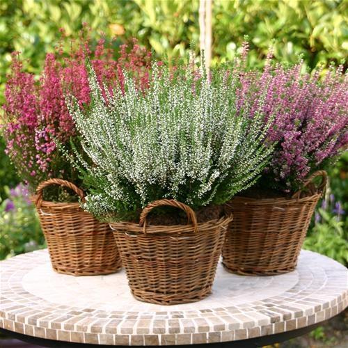 September! Tijd van de prachtige Heide planten die iedere tuin opvrolijken!
