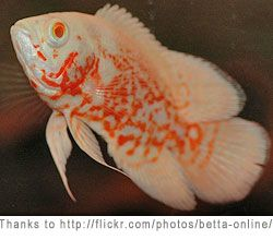 Albino Tiger Oscar.. In a BIG tank with maybe a few dither fish like Tin Foil Barbs.. Please?