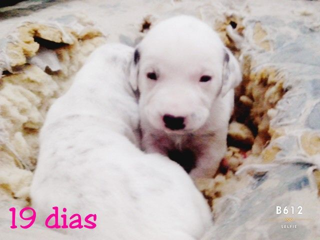 Cachorros dálmatas con 19 dias de vida