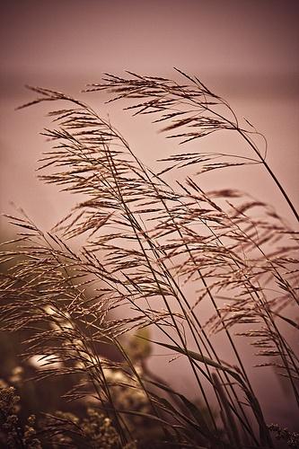 Observer les hautes herbes s'agiter sous le vent...