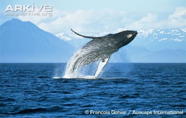 Humpback whale videos, photos and facts - Megaptera novaeangliae | ARKive