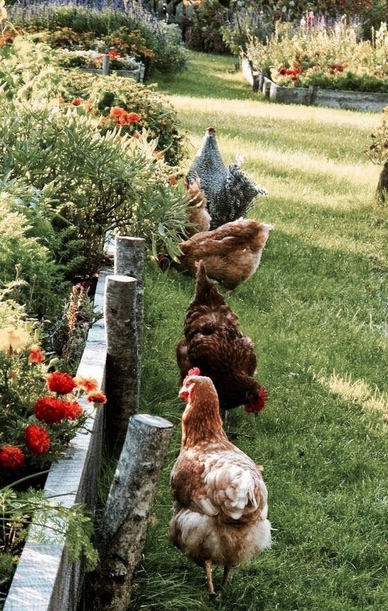 .chickens and garden beds