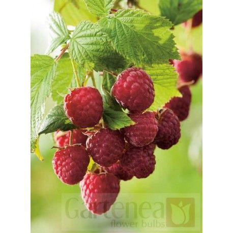 """Malina czerwona (Rubus idaens) """"Veten"""""""