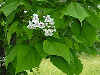 Find This Pin And More On Non Native Trees Shrubs To Ontario