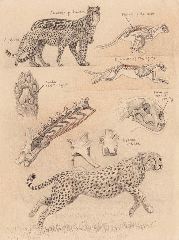Populaire 102 best Anatomie félins images on Pinterest | Animal anatomy  FC58