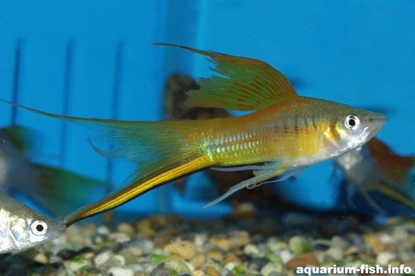 Swordtail ~ Like swordtails too