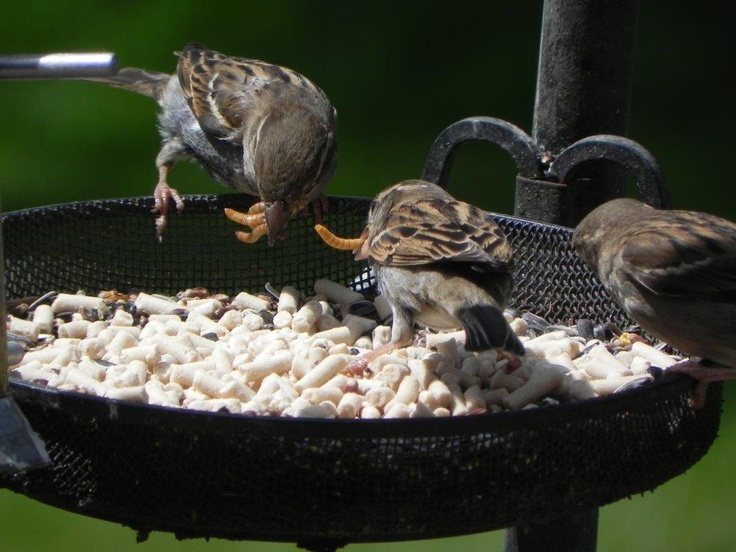 House sparrows enjoy their weekly wiggly wigglers mealworm delivery