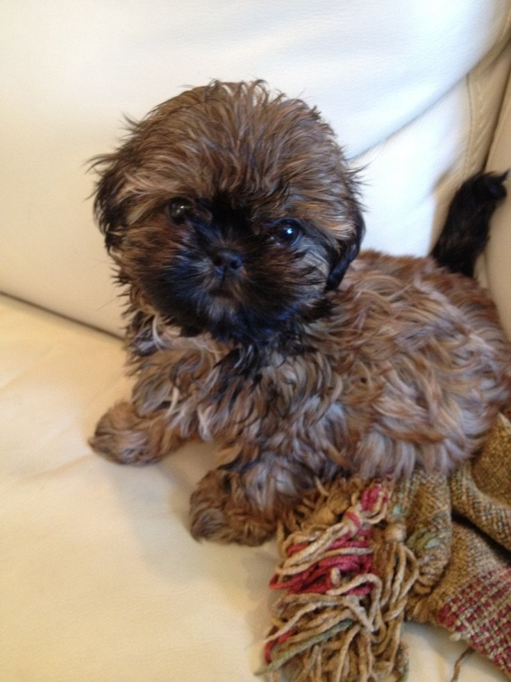 images of shih tzu dogs 1000 images about love shih tzu on pinterest puppys 6805