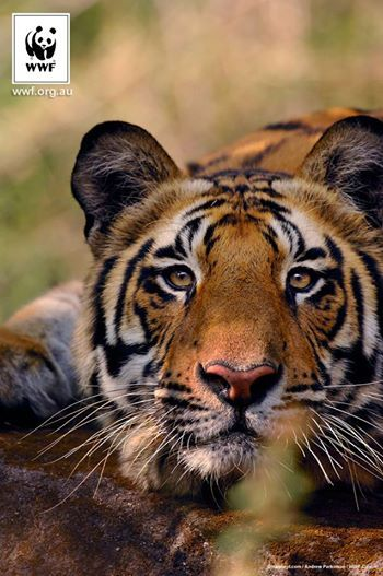 """BRAVO!!!  First ever trans-boundary tiger survey between India and Nepal -  """"This survey highlighted the importance of the protected areas and the connecting habitat corridors for tigers, and identifies key interventions needed to secure the future of tigers in this landscape."""""""