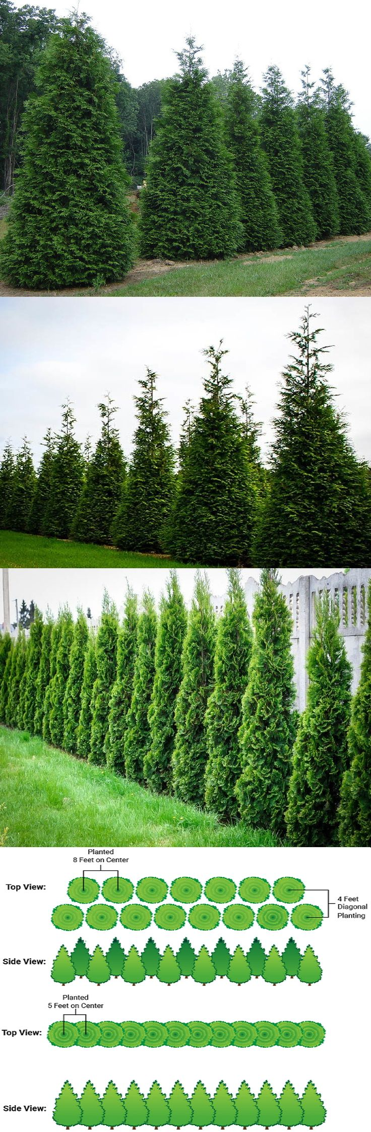 Thuja Green Giant Arborvitae (Thuja Standishii Plicata)-Zone 5-9 Part to Full Sun 20-40' Height 12-20' Width. Fast growing (3-5' yr) evergreen tree light green soft foliage.Plant 3-5' apart for short 8' hedge (trim 1x yr)-plant close together to grow taller & narrower. Or let it be a broad large screen in a uniform shape, blocking noise, wind, snow & creating absolute privacy. Drought tolerant, deer, disease & insect resistant in almost any soil. Hybrid of Japanese Thuja & Western Red Cedar.