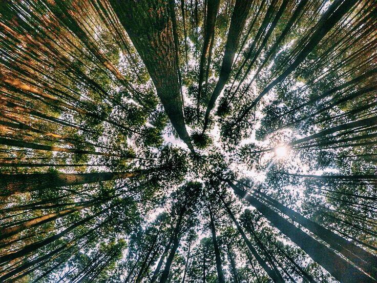 Pinus Forest __________________________________ Loacation : Imogiri, Bantul,Yogyakarta, INA