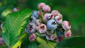 Tešte sa z plodov čučoriedky: Hnojte a zalievajte ku  koreňom