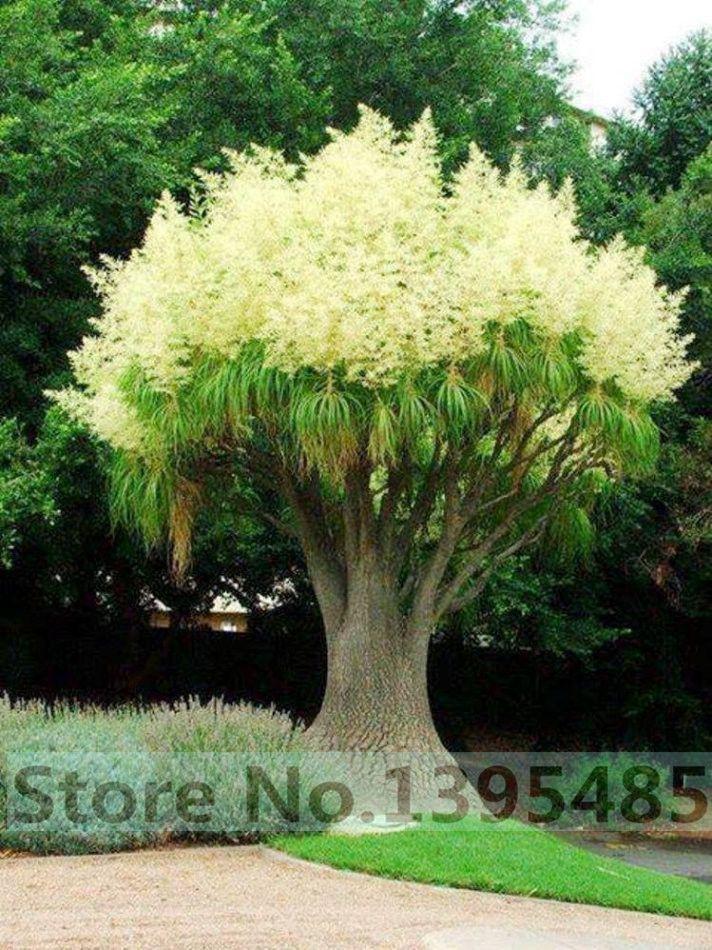 Купить товар20 шт./пакет декоративный сад, внутренний двор, 90% всхожесть акации семена цветов в категории Карликовые деревьяна AliExpress. 20 шт./пакет декоративный сад, внутренний двор, 90% всхожесть акации семена цветов