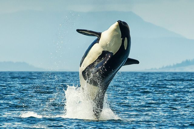 http://www.takepart.com/article/2014/12/05/whats-killing-critically-endangered-whale