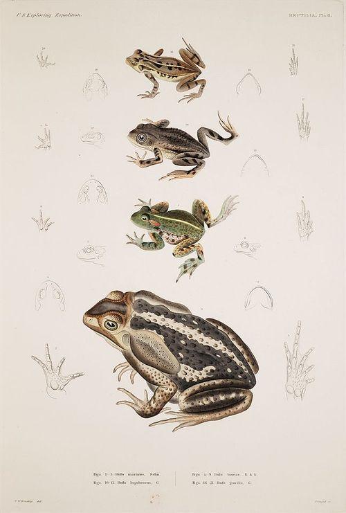 Bufo marinus; Bufo boreas; Bufo lugubrosus; Bufo gracilis.  #frog #drugs #High #SUPERHIGH