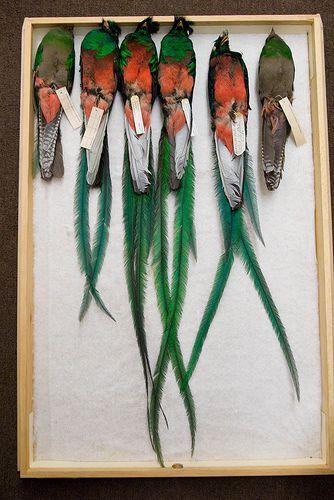 Bird Specimens, Study Skins by profholtz, via Flickr.  Resplendent quetzals. (Trogonidae)