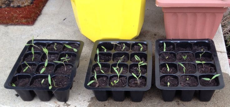 Tomato seedlings 11/7/2016. Regrown from supermarket - bought tomato scraps