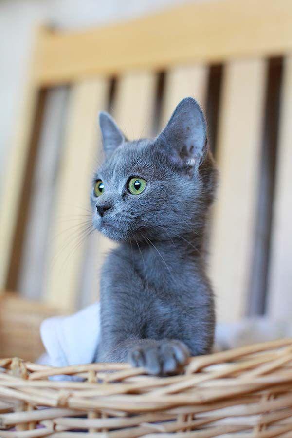 25+ best ideas about Gray kitten on Pinterest