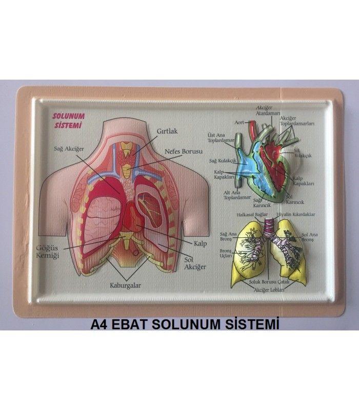 A4 EBAT ANATOMİ KABARTMA (PVC) KAPLAMA  Anatomi Levhaları Seti anatomi iskeletleri ve kabartma anatomi materyalleri www.okulgerecim.com da en uygun fiyatlar ile temin edebilirsiniz.