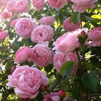 Свободная перевозка груза 50 розовый UNIDs polyantha розы, восхождение семена розы, китайские цветы