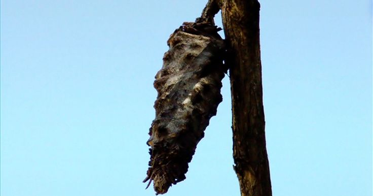 Cómo cuidar un capullo de mariposa. Ver a una oruga convertirse en mariposa es una gran oportunidad para los niños de aprender acerca de la naturaleza de forma práctica. Cuidar un capullo de mariposa, también conocido como crisálida, no es difícil. De hecho, es muy poco lo que tienes que hacer para mantener un capullo en buen estado y que la metamorfosis ocurra. Si puedes encontrar ...