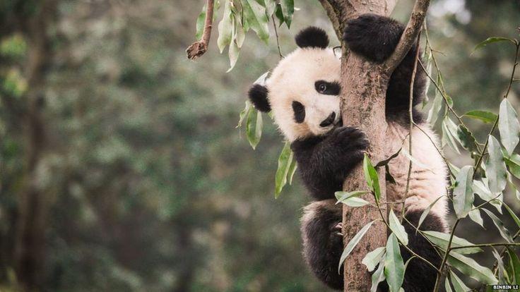 Panda's habitat 'shrinking and becoming more fragmented' - BBC News
