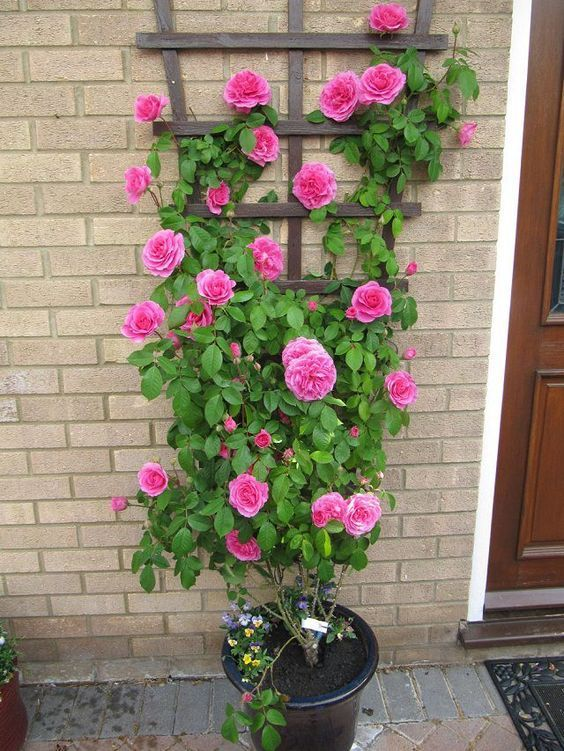 Climbing rose in a pot, and 23 more of the Best Vines for Containers. | Balcony Garden Web