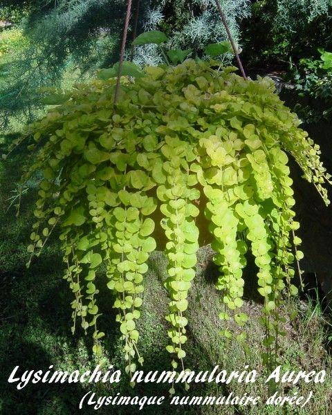 Lysimachia nummularia Aurea - Lysimaque nummulaire dorée ou Herbe aux écus dorée