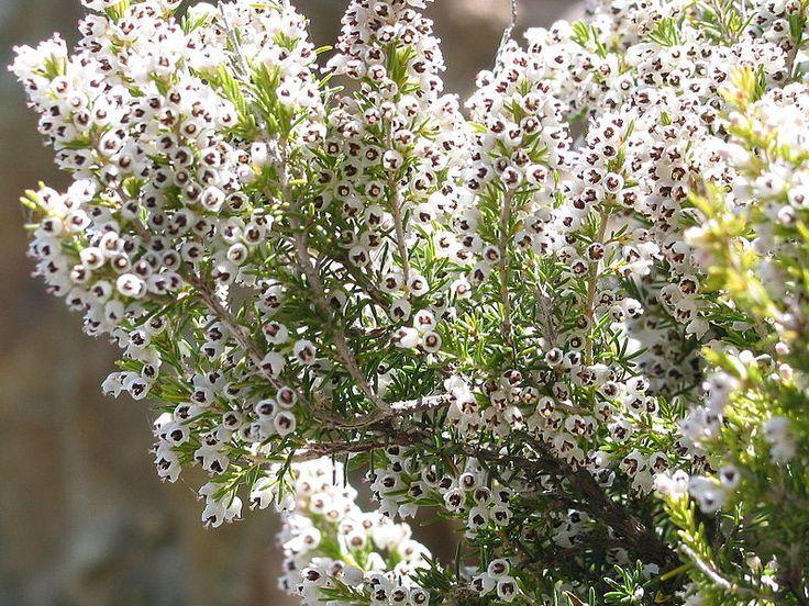 Ρείκι Ανοιξιάτικο (Erica arborea)