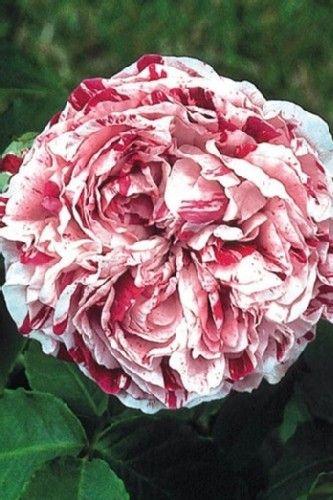 les 53 meilleures images propos de roses anciennes sur pinterest pink pivoines et roses roses. Black Bedroom Furniture Sets. Home Design Ideas