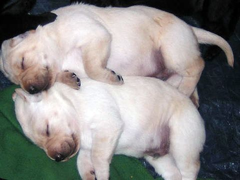 Puppies Pictures, Favorite Things, Cuddling Pup, Lil Puppies, Favorite Pup, Baby Labs 3, Funny Animal, Labs Puppies, Puppies So Darning