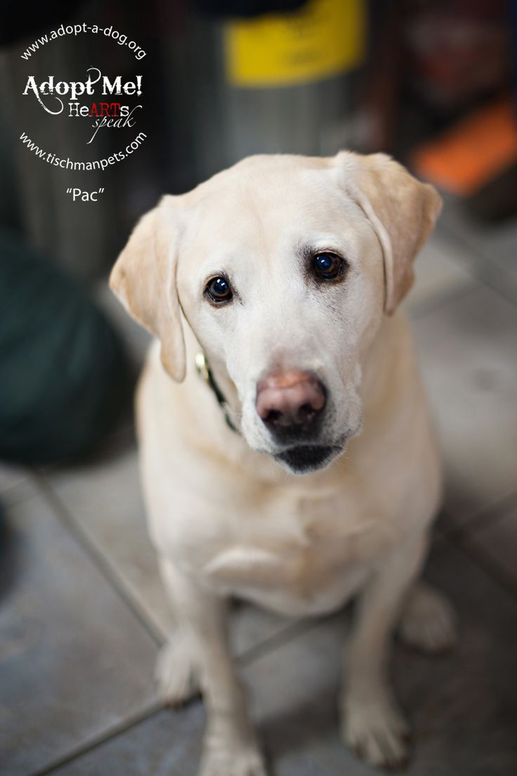 Pin on Labradors available for adoption