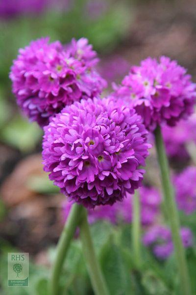 'Drumstick Primrose' Primula denticulata