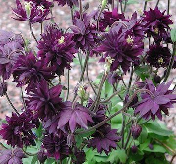 Aquilegia vulgaris stellata 'Black Barlow' Akleja