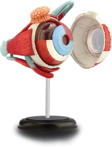 The human eye - 3D anatomy puzzle / model.