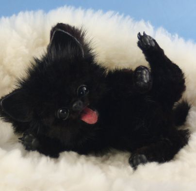Melisa's Bears Shadow - miniature Pomeranian Puppy