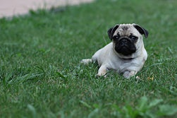 How to Buy a Pug Puppy  http://www.wikihow.com/Buy-a-Pug-Puppy
